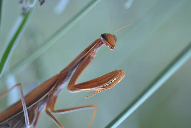 Mantis, Religion, Mantis Religiosa, Insect, Green