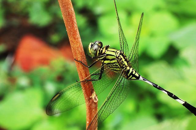 Dragonfly, Insects Leaves, Green, Grasshopper, Resting