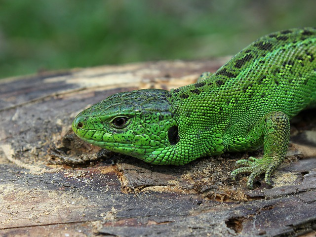 Sand Lizard, Lizard, Lacerta Agilis, Green, Family