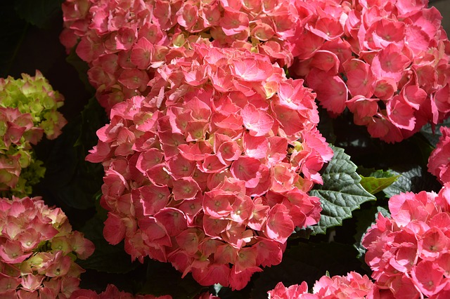 Hydrangea Flower Red, Green Leaves, Massif, Nature