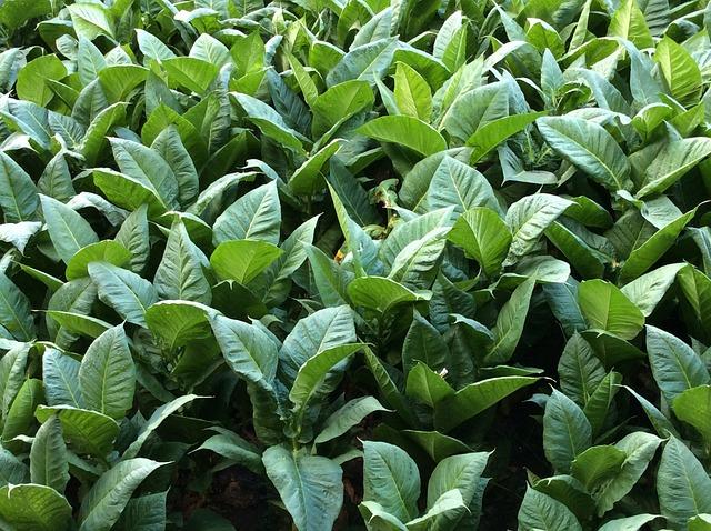 Tobacco, Leaves, Green