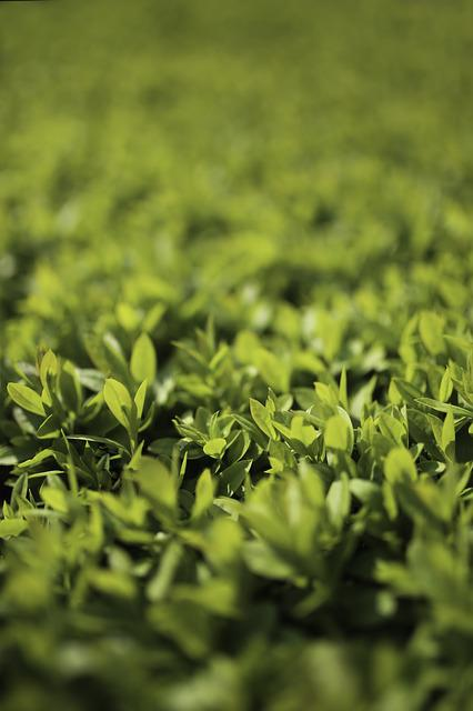 Green, Leaf, Leaves, Bokeh, Privet, Ligustrum, Macro