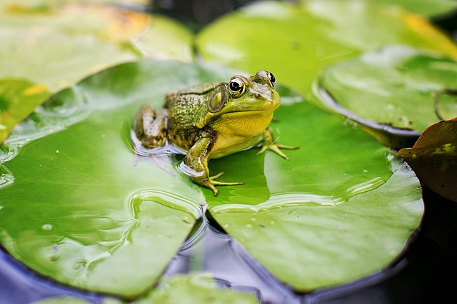 Bull Frog, Green, Pond, Lily Pad, Frog, Nature