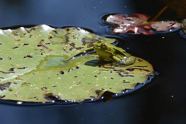 Frog, Pond, Water, Green, Lily Pond, Lily Pad, Nature