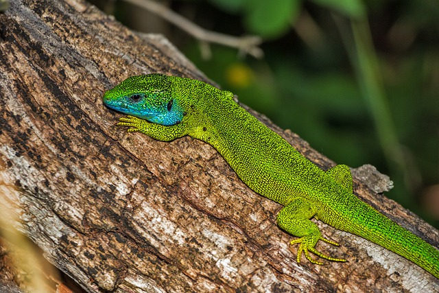 Lizard, Green Lizard, Reptile, Green, Lacerta Viridis