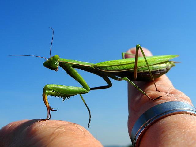 Mantis, Insect, Green