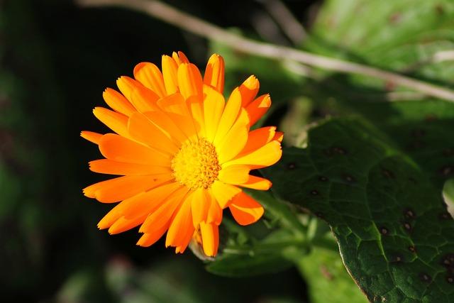 Marigold, Green Manure, Medicinal Plant, Biological