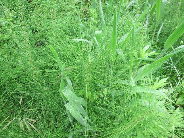 Horsetail, Meadow, Green, Equisetum Arvense