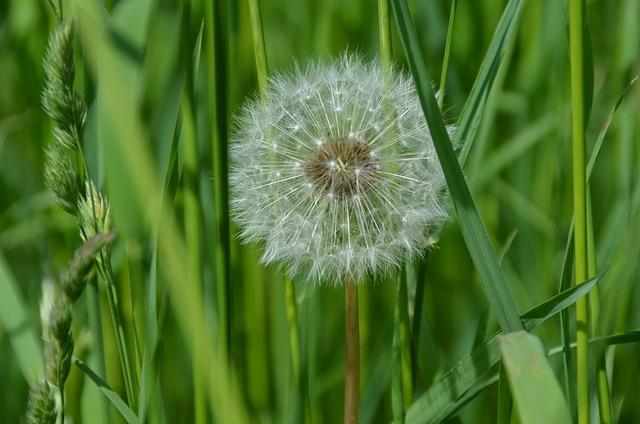 Dandelion, Flower, Plant, White, Green, Meadow, Summer