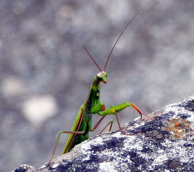 Insect, Mantis, Nature, Green, Macro, Leaf, Grasshopper