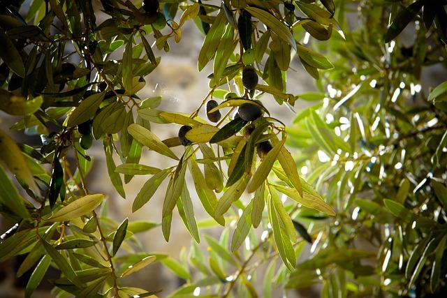 Olives, Tree, Olive Tree, Green, Nature, Landscape