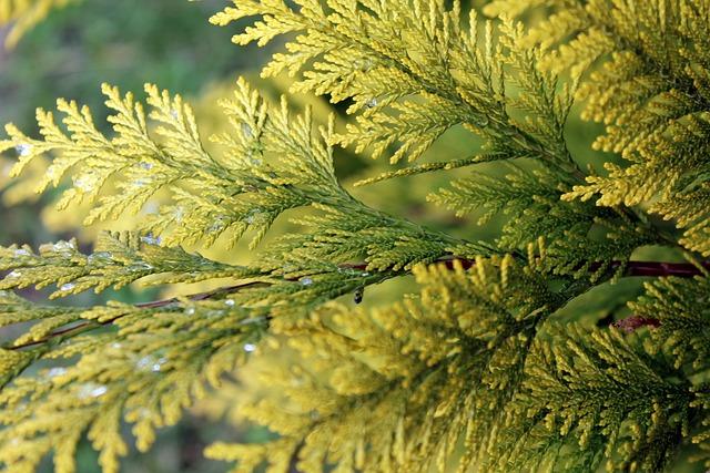 Thuja, Nature, Plant, Bush, Twigs, Yellow, Green