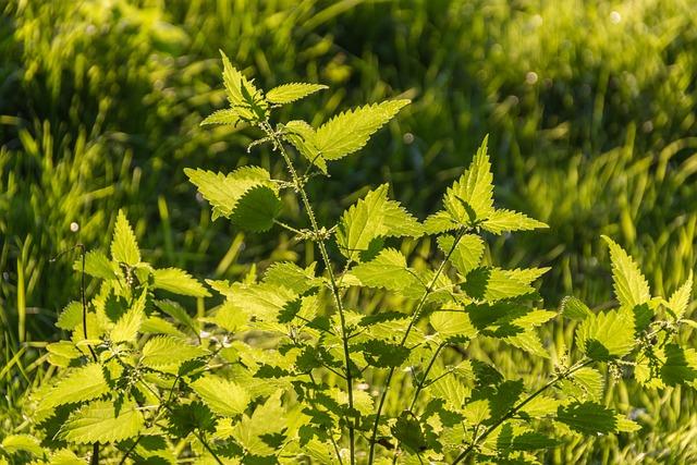 Stinging Nettles, Back Light, Nettles, Green, Nature