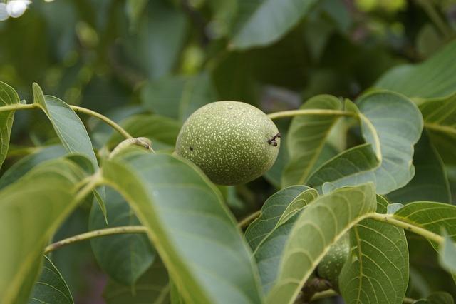 Walnut, Green, Fruit, Frisch, Healthy, Nut, Food, Tree