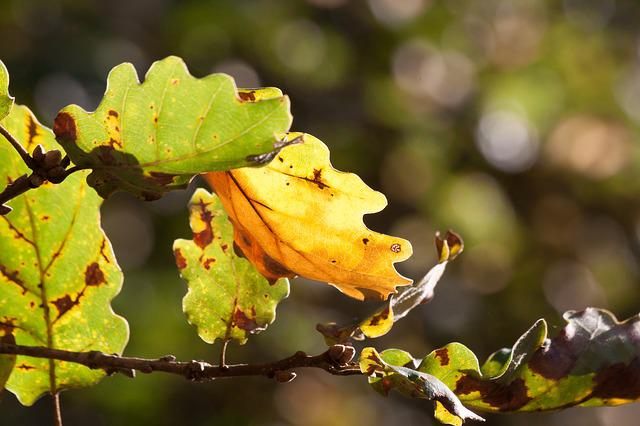 Leaf, Oak Leaf, Leaves, Autumn, Oak, Green, Yellow