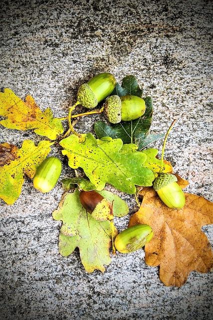 Acorns, Oak, Oak Leaves, Discolored Leaves, Green