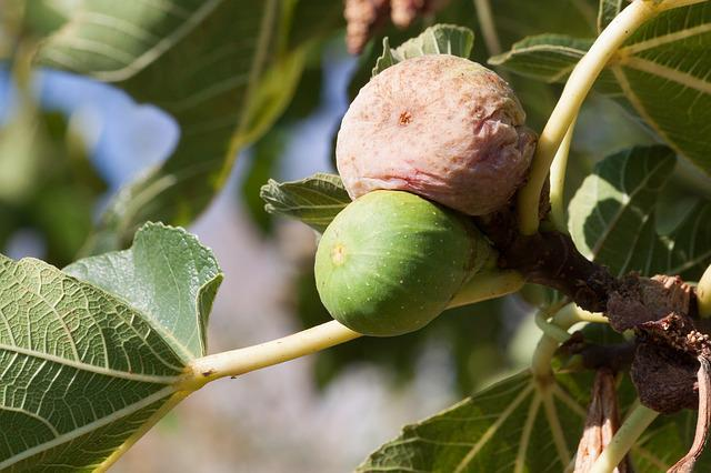 Fig, Ripe, Over Ripe, Brown, Green, Fruit, Sweet