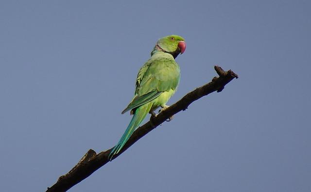 Bird, Parakeet, Green, Tropical, Parrot, Fauna