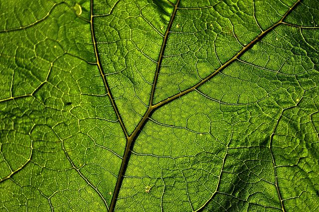 Butterbur, Leaf, Plant, Veins, Pattern, Herb, Green
