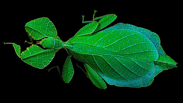 Cockroach Walking, Green, Small Animal, Phylliinae