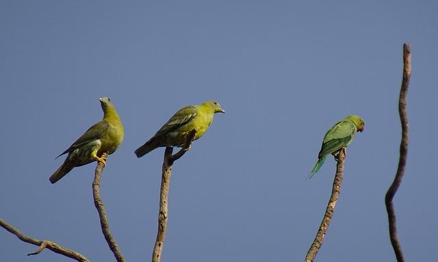 Bird, Pigeon, Yfgp, Yellow-footed, Green