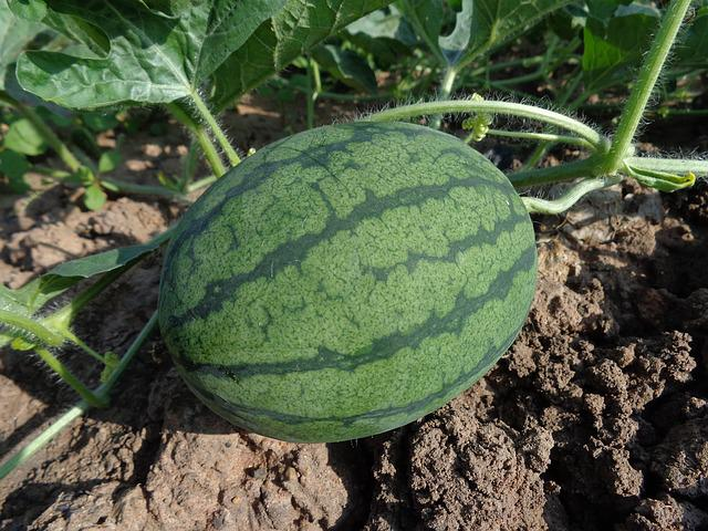 Watermelon, Hybrid Watermelon Seed, Fruit, Green, Plant