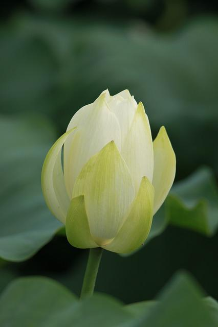 Kite, Nature, Pond Plants, Lotus, Abstract, Green