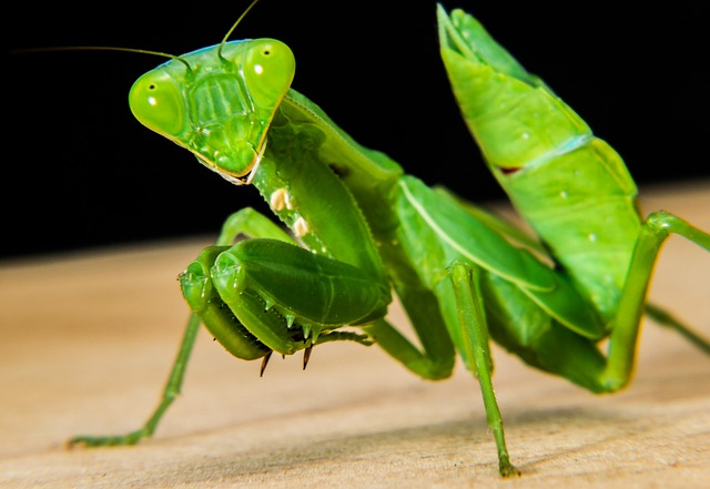 Praying Mantis, Fishing Locust, Green, Close Up
