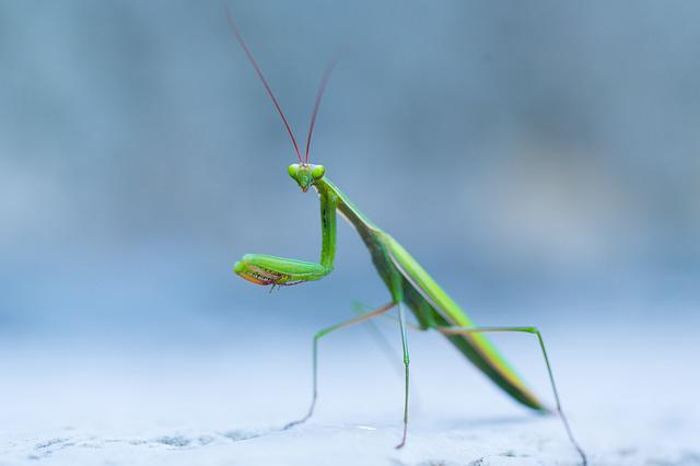 Wild, Praying Mantis, Insect, Macro, Green, Outdoor