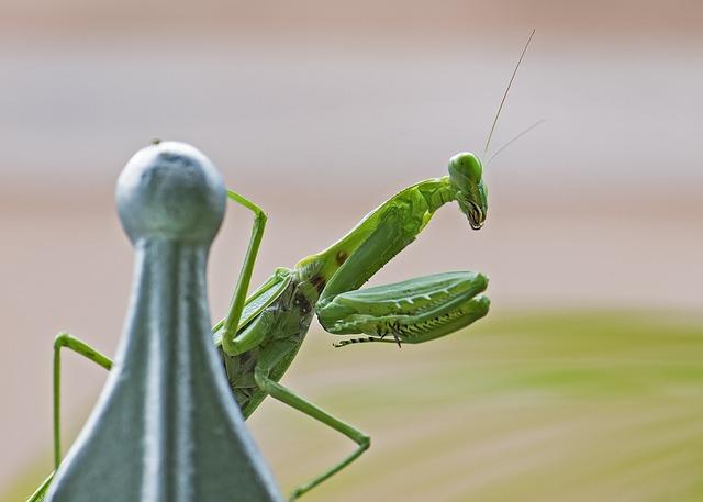 Praying Mantis, Insect, Green, Bug, Legs, Macro