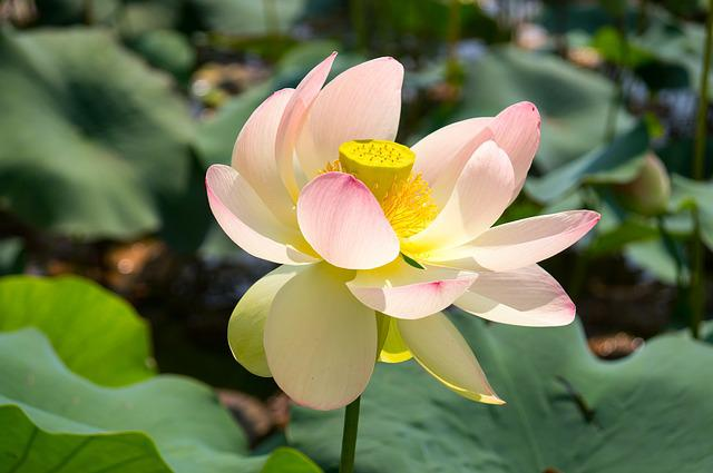 Lotus, Water, Flower, Pink, Calm, Green, Relaxation