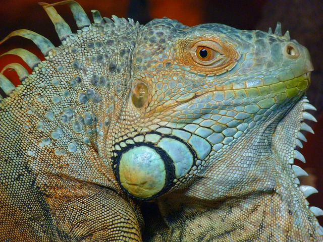 Iguana, Green, Lizard, Kaltblut, Reptile, Animal