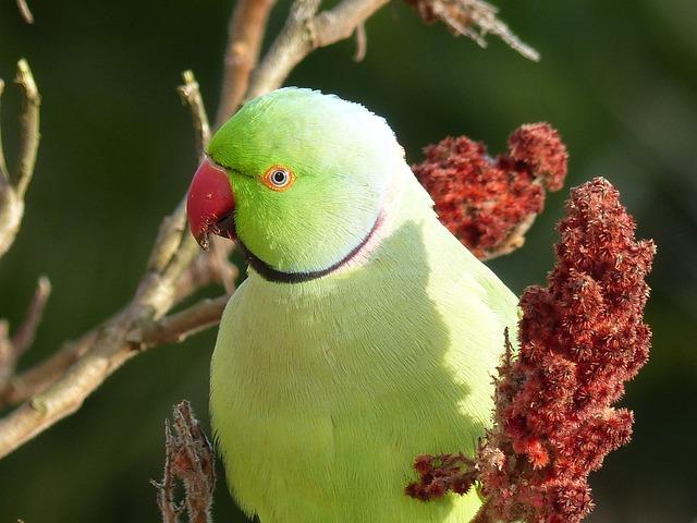 Parrot, Rhus, Green, Necked Parakeet