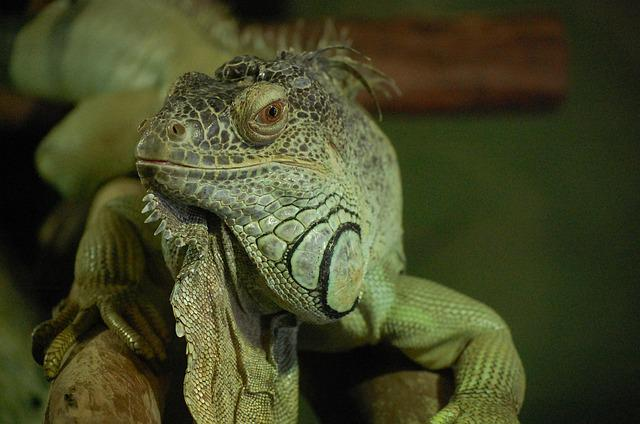 Iguana, Animal, Green, Lizard, Reptile, Sheds