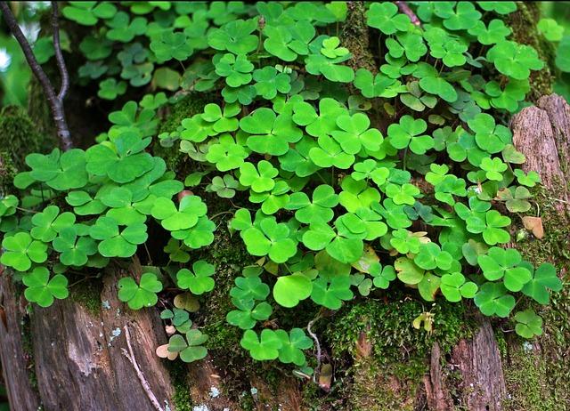 Forest Clover, Klee, Sorrel, Plant, Green, Forest