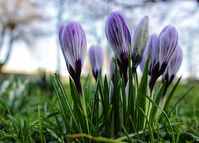 Crocus, Purple, Flower, Violet, Green, Grass, Spring
