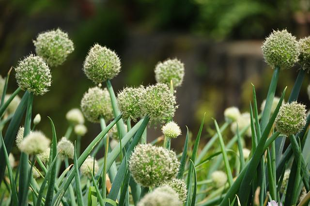 Onions, Spring, Green