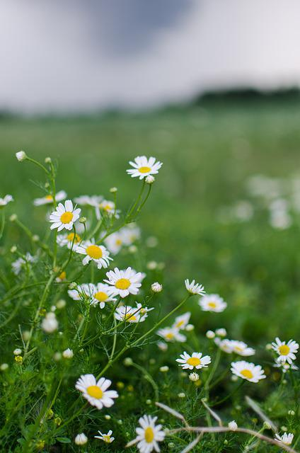 Chamomile, Storm, Green, Grey, Bloom, Flowers, Plant