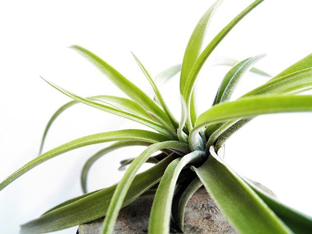 Tillandsia, Air Plant, Leaf, Bromeliaceae, Green