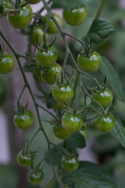 Tomatoes, Trusses, Green, Immature, Immaturity Fruit