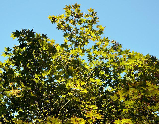 Maple, Branches, Leaves, Green, Tree, Branch Branches