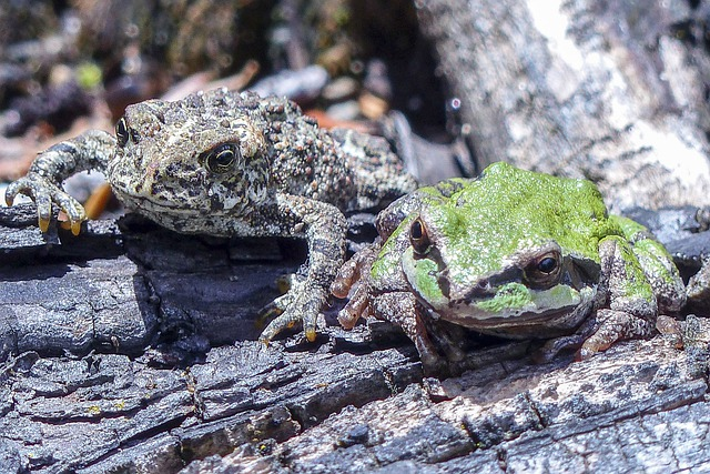 Toad, Green Tree Frog, Frog, Amphibian, Animals