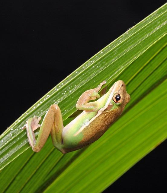 Frog, Green Tree Frog, Amphibian, Close-up, Details