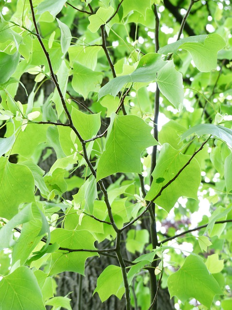 Tulip Tree, Tree, Leaves, Green, Growth, Spring