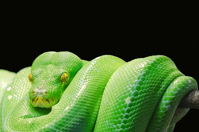 Green Tree Python, Python, Tree Python, Green, Tree