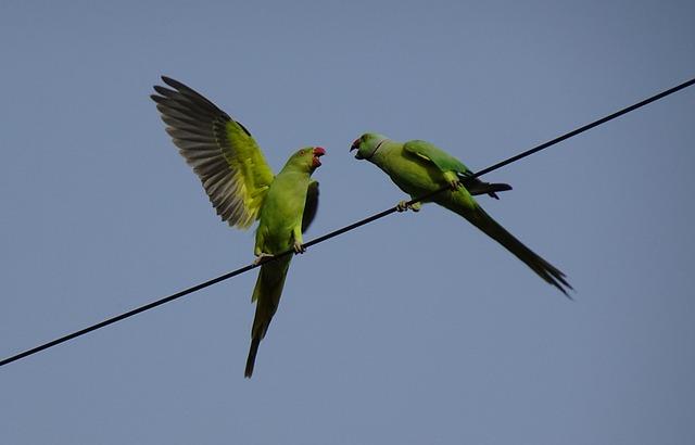 Bird, Parakeet, Pair, Fighting, Green, Tropical, Parrot