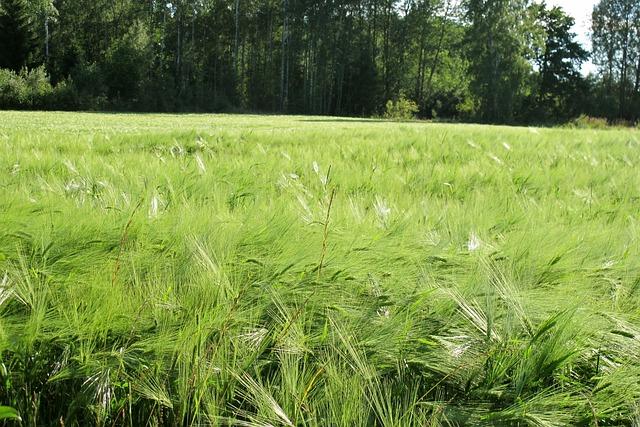 Go, Wheat, Värmland, Green, Field, Meadow, Forest