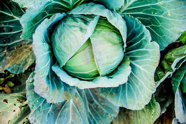 Cabbage, Vegetable, Green, Organic, Vegetarian