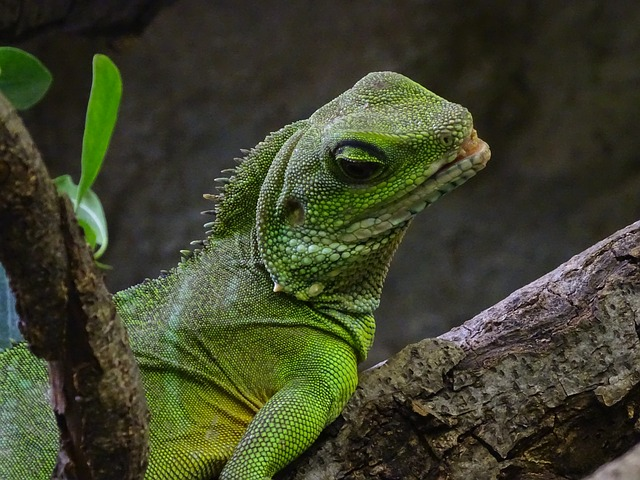 Lizard, Terrarium Animals, Green, Vivarium, Reptile
