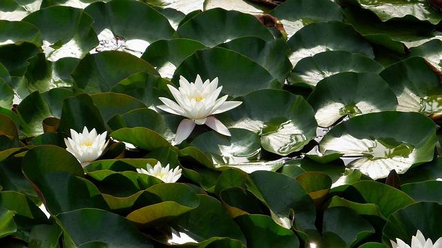 Waterlilies, Green, Water-plant